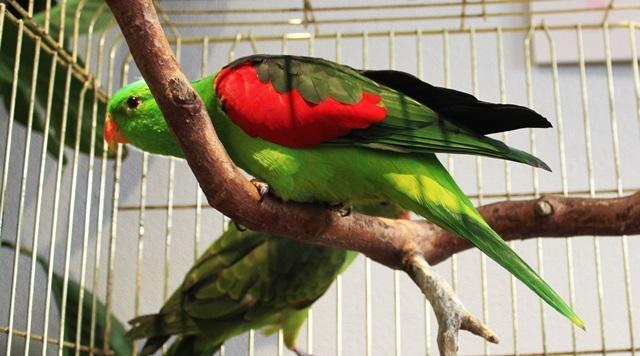Sarkanspārnu papagailis